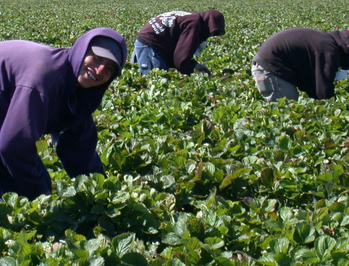 Seasonal Workers for Tenderstem Broccoli Harvest
